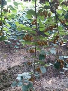 باغات کیوی