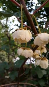 گل درخت کیوی