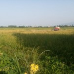 اولین برداشت محصول برنج گیلاکجان در سال ۱۳۹۵