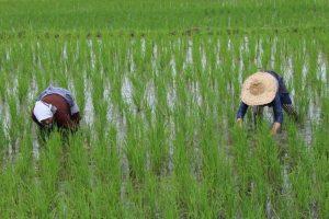 کشت دوم برنج در شالیزارهای گیلاکجان