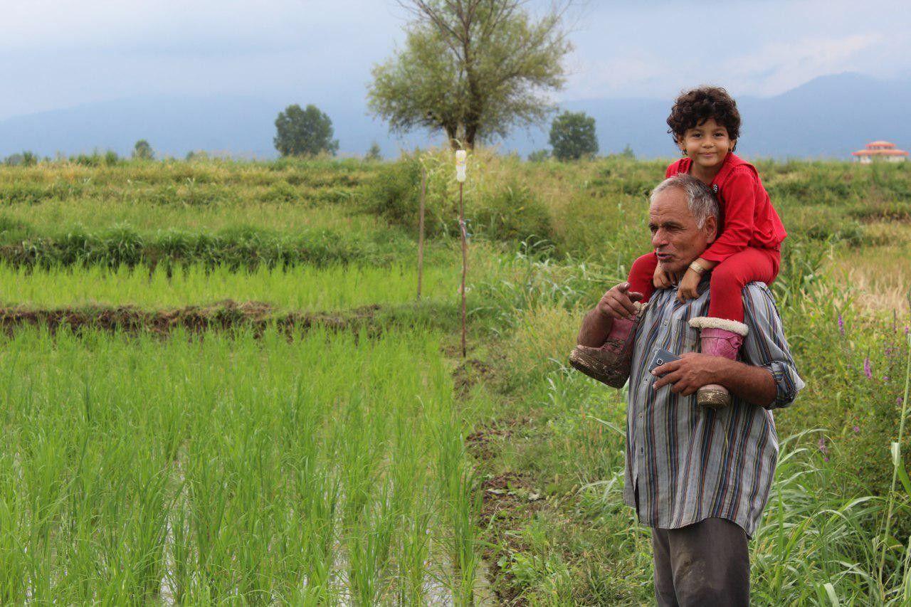 وجین کشت دوم برنج در اراضی شالیزاری روستای گیلاکجان شهرستان رودسر