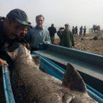 صید فیل ماهی عظیم الجثه توسط صیادان پرتلاش گیلاکجانی
