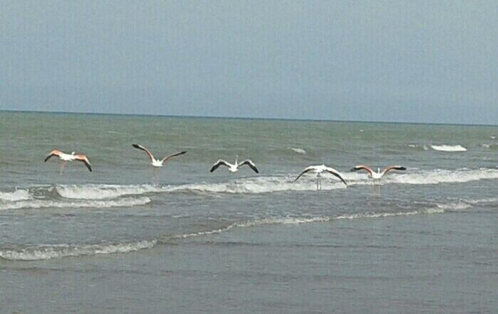 شکار غیرمجاز فلامینگوهای مهاجر در ساحل گیلاکجان